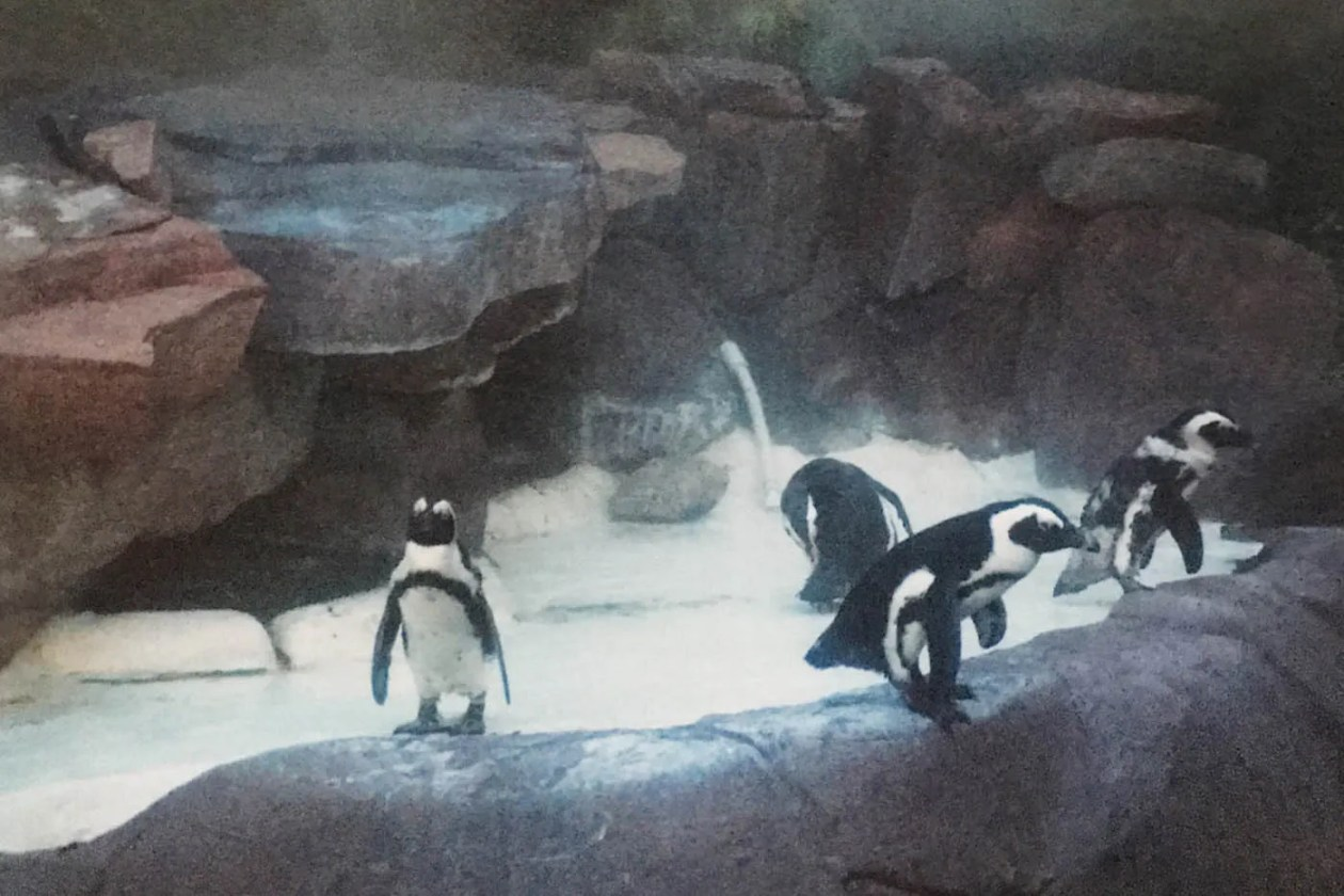 Penguins at the Wildlife Habitat at the Flamingo Hotel and Casino in Las Vegas