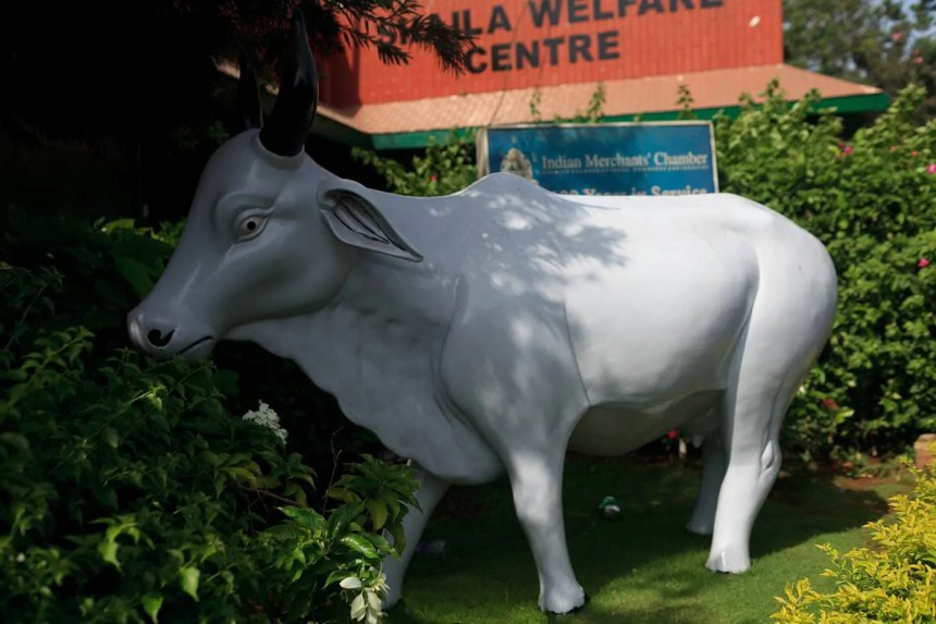 Big cow in Mumbai, India