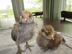 Chicks 1 month 088