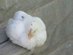Chicks 1 month 172