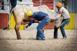 Vaqueros compiten en el ordeno de vacas en la final del Campeonato Nacional de Rodeo entre Villa Clara y Sancti Spiritus, durante la Feria Internacional Agroindustrial Alimentaria (FIAGROP) de Rancho Boyeros el martes 18 de marzo de 2014 en La Habana, Cuba. FOTO de Calixto N. Llanes/Juventud Rebelde (CUBA)