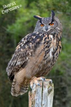 2016-05-14 - Eurasian Eagle Owl 001