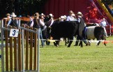 0SHOW CATTLE
