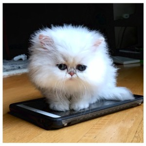 not | teacup persian kitten | teacup kitten | teacup persian cat | Chinchilla Persian Kitten