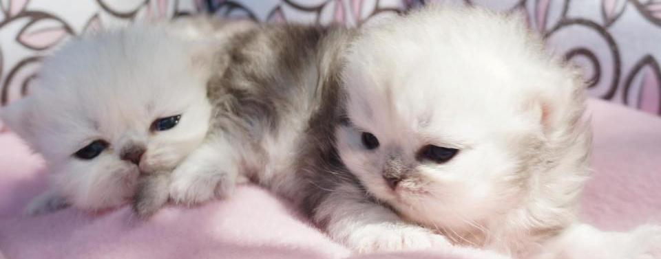 Available Persian Kittens for Sale