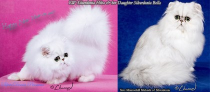 Silver Chinchilla Persian Cat, Shaded Silver Persian Cat