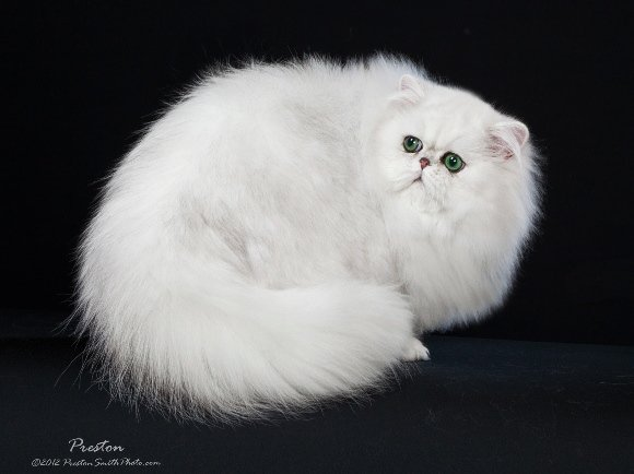 Chinchilla Silver Persian GC RW Simbakui Al-Sultan of Silverdonia is a regional winner!!