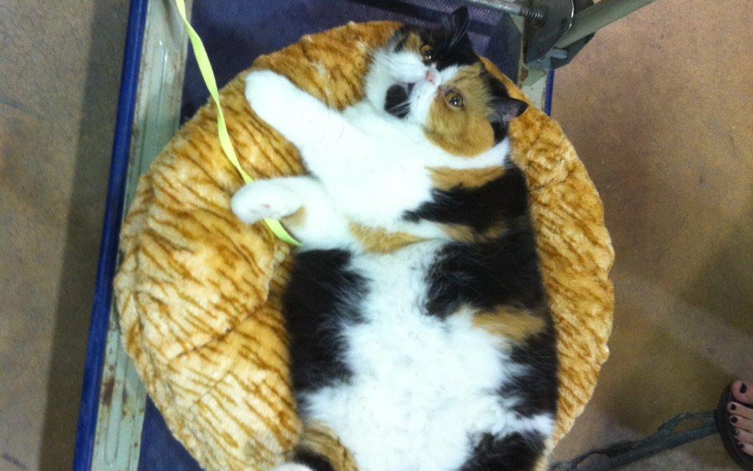 The funny Iams cat @ Hidden Peak cat show MD