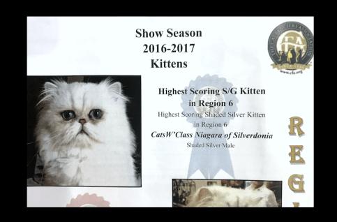 Shaded Silver Persian Kitten Show kitten Niagara