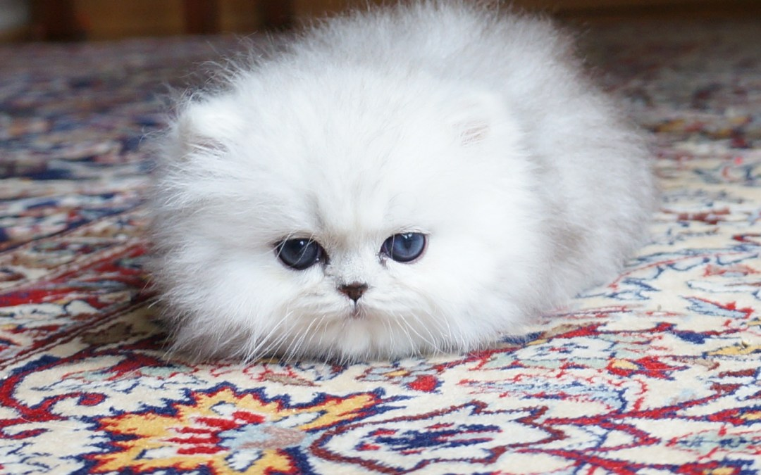 Shaded Silver Persian Kitten. (not available)