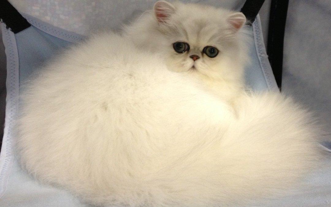 Chinchilla Silver Persian Kitten Hiba. Parma Ohio CFA cat Show 10/13 – 10/14/2012