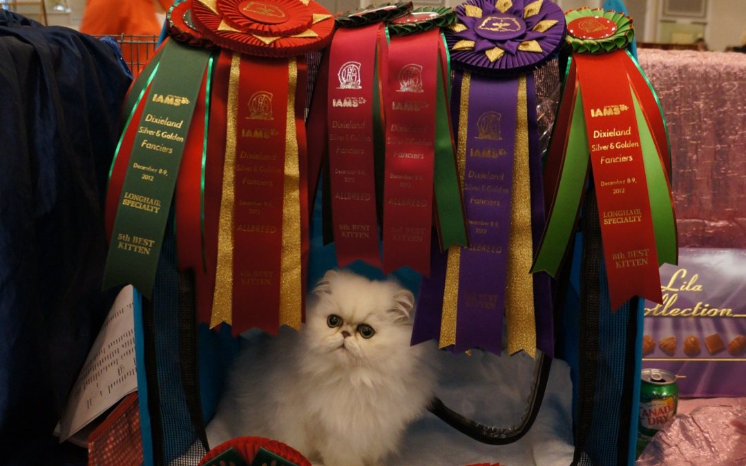 BEST Silver/Golden Persian Kitten Dixieland CFA show 2012, Charlotte