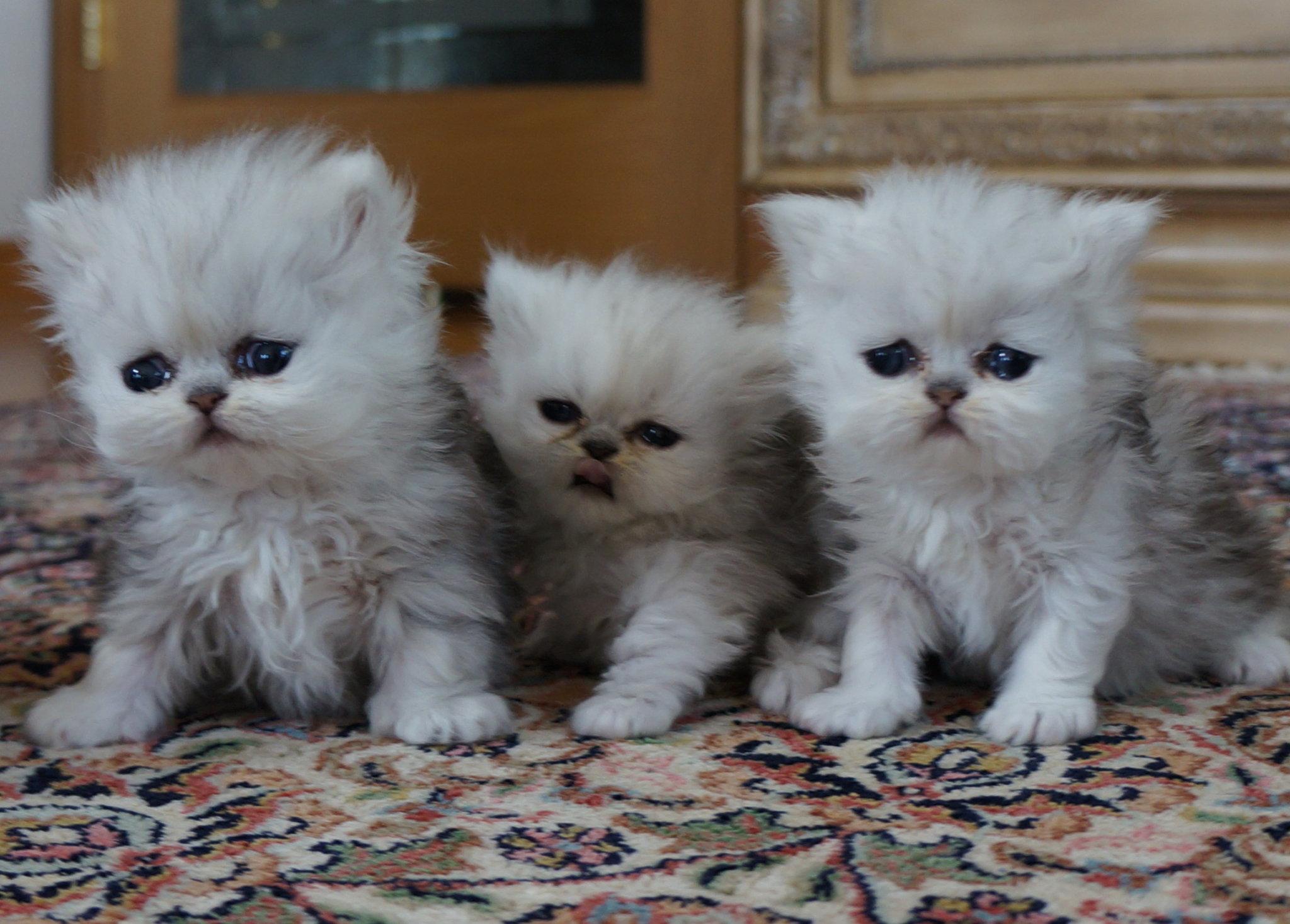 Persian cat breeders chicago