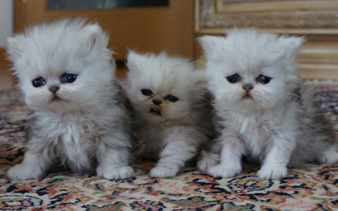Silver Persian Kittens 4/2014 (all reserved)
