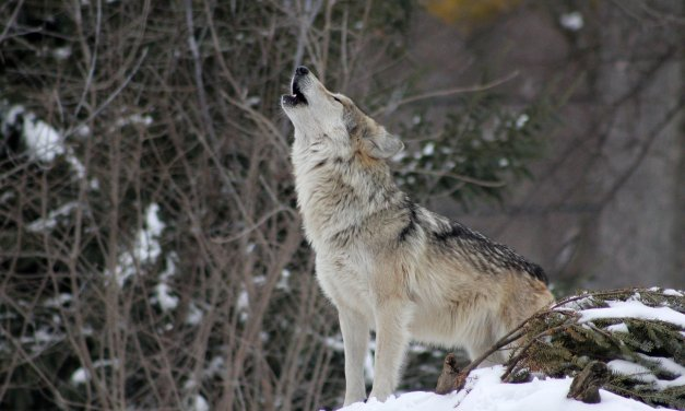 Why is the wolf howling effect used in horror movies?