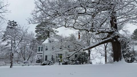 The big oak in snow