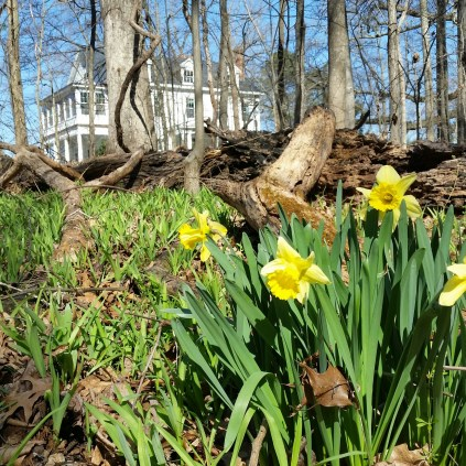 Naturalized clumps of daffodils grow in the woods