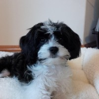 Black/White Pup