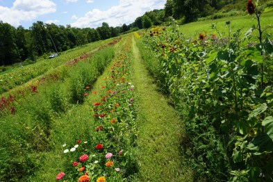 zinnia and sunflower rows