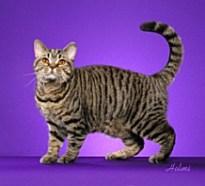 Example Mackerel tabby Photo: © http://www.seregiontica.org/
