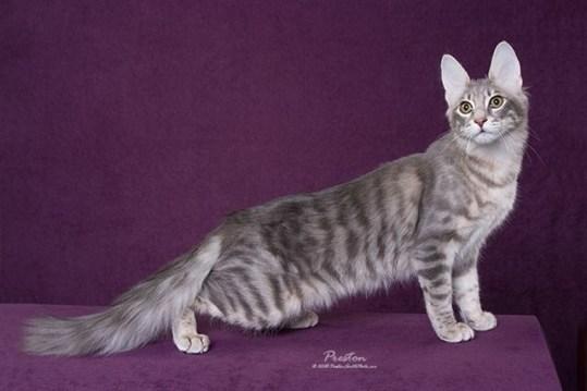 Example Mackerel tabby Photo: © http://bastra.angelfire.com/