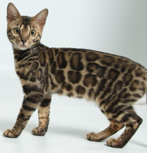 Example Spotted tabby Photo: © https://bengalcatdirectory.com