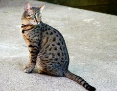 Example Spotted tabby Photo: © https://en.wikipedia.org