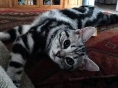 OP-Bailey-May-9-2014-American-Shorthair-silver-tabby-kitten-sprawled-across-floor