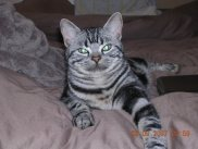 OP-Beau-Jun-23-2009-American-shorthair-silver-tabby-stretched-out-on-a-bed
