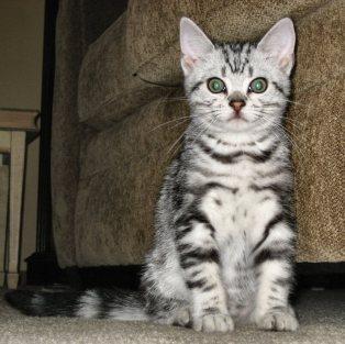 OP-Beaurier-Jun-22-2009-American-Shorthair-silver-tabby-kitten-sitting-by-green-sofa-front-view