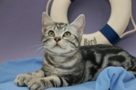 OP-Bill-Sep-23-2008-American-Shorthair-silver-tabby-kitten-lying-on-blue-blanket-in-front-of-yacht-ring