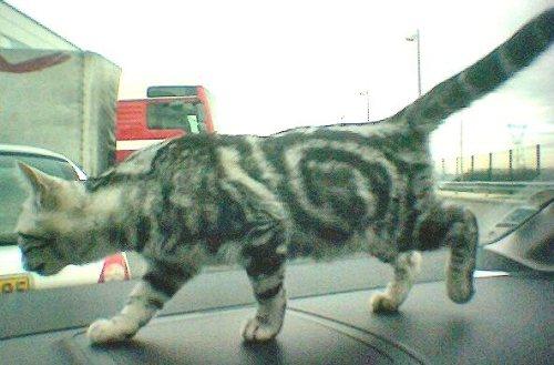 OP-Bridget-May-12-2010-American-Shorthair-silver-tabby-kitten-walking-across-car-dashboard-while-driving-down-road