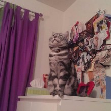 Image of silver tabby American Shorthair cat sitting on a dresser