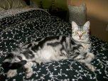 OP-Daisy-Jul-18-2013-American-Shorthair-silver-tabby-cat-sprawled-out on-black-flowered-bedspread