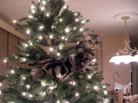 OP-Dakota-Dec-12-2004-American-Shorthair-silver-tabby-cat-in-Christmas-tree