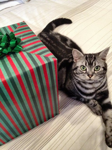 OP-Dakota-FL-Dec-1-2014-American-Shorthair-silver-tabby-resting-on-bed-beside-striped-red-green-christmas-box