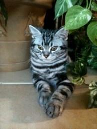 OP-Dakota-FL-Nov-4-2013-American-Shorthair-silver-tabby-kitten-resting-under-plant