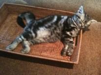 OP-Dakota-FL-Nov-4-2013-American-Shorthair-silver-tabby-kitten-sound-asleep-in-basket