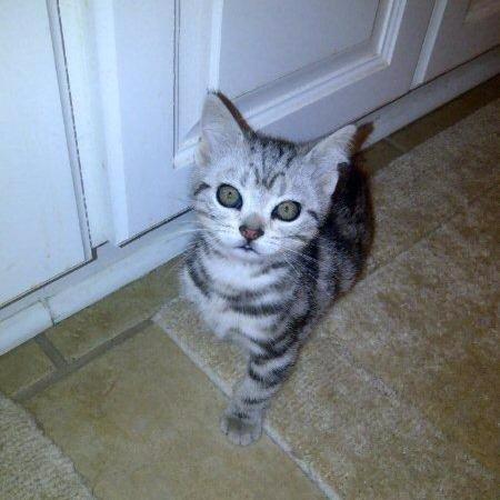 OP-Duncan-Jul-13-2007-American-Shorthair-silver-tabby-kitten-sitting-on-tile-floor