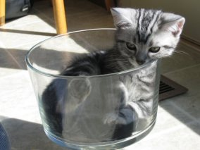OP-EW-Kitty-Oct-1-2006-American-Shorthair-silver-tabby-kitten-curled-up-inside-glass-dish