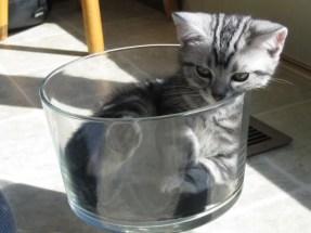 OP-EW-Kitty-Oct-1-2006-American-Shorthair-silver-tabby-kitten-curled-up-inside-glass-dish