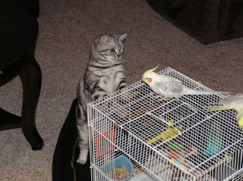 Silver Tabby American Shorthair cat looking at bird on top of cage