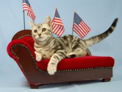 OP-Gus-Apr-3-2009-American-Shorthair-silver-tabby-cat-lying-on-miniature-chaise-lounge-surrounded-by-American-flags