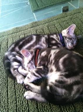 OP-Gus-Beau-Oct-10-2011-two-American-Shorthair-silver-tabby-cats-sleeping-on-green-rug