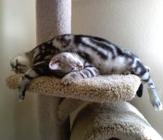OP-Hiram-Chloe-Apr-18-2013-American-Shorthair-silver-tabby-cats-sprawled-on-top-of-each-other-on-cat-tree