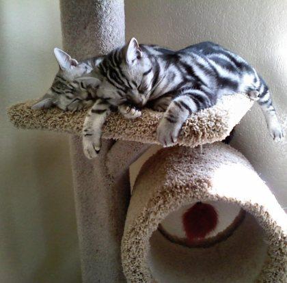 OP-Hiram-Cloe-two-American-Shorthair-classic-silver-tabby-cats-sleeping-on-cat-tree