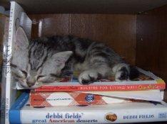 OP-Ignatius-Mar-20-2007-American-Shorthair-silver-tabby-kitten-sleeping-on-stack-of-books