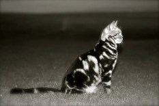 OP-Jackson-2010-Black-and-White-American-shorthair-classic-silver-tabby-cat-sitting-in-open-field-at-sunset