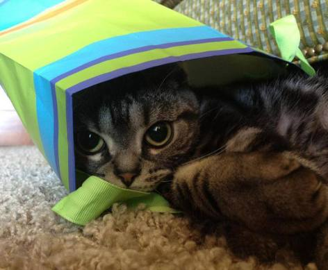 OP-Jackson-2011-American-Shorthair-silver-tabby-cat-hiding-in-green-gift-bag