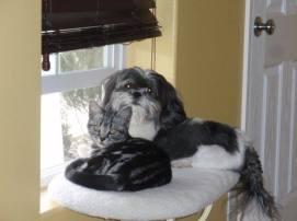 OP-Kal-El-2013-American-Shorthair-silver-tabby-cat-shares-window-perch-with-Lhasa-apso